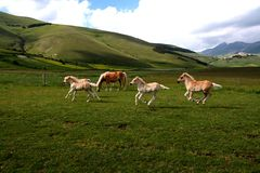 Running foals. Image of a running foal in Castelluccio di Norcia - umbria - italy Stock Photos