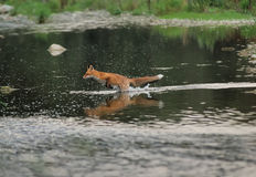 Running fox in the river Stock Photo