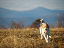 Running fox terrier. A young fox terrier running on a field Stock Image
