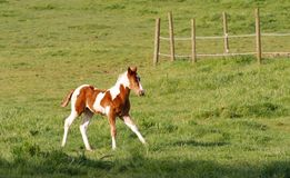 Running Free. Young foal running through a green field stock image