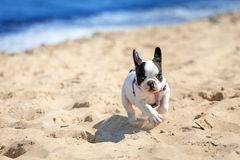 Running French bulldog puppy Royalty Free Stock Image