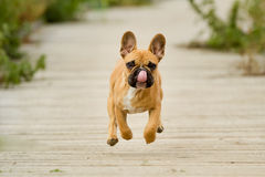Running French Bulldog Puppy Royalty Free Stock Photography