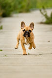 Running French Bulldog Puppy Stock Photo