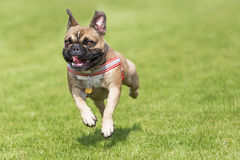 Running french bulldog whelp Royalty Free Stock Photos
