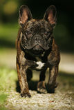 Running Frenchy. Frontal close-up of a young french bulldog running Stock Image
