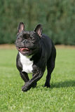 Running Frenchy. Portrait of a running young brown French bulldog Royalty Free Stock Images