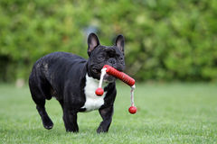 Running Frenchy bulldog. Portrait of a fast running French bulldog holding a dog-toy Royalty Free Stock Image