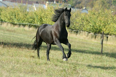 Running Friesian horse. In meadow with trees behind royalty free stock images