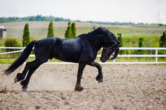 Running frisian horse Stock Images