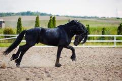 Running frisian horse Stock Images