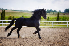 Running frisian horse. In the open manege Stock Image