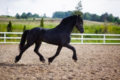 Running frisian horse Royalty Free Stock Image