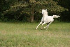 Running full speed. Arabian stallion running in his pasture Stock Images