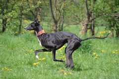 Running Galgo Stock Images