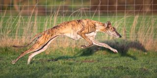 Running Galgo Espanol royalty free stock images