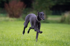 Running Galgo Espanol. A young galgo espanol running around Royalty Free Stock Photos