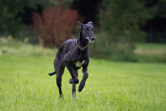 Running Galgo Espanol. A young galgo espanol running around Royalty Free Stock Image