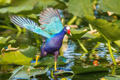 Running Gallinule. Adult Purple Gallinule Running With Wings Spread Among Lily Pads In Everglades, National Park, Florida Stock Photo