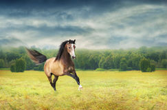 Running galloping horse on background of autumn dawn. Running galloping brown horse on background of autumn dawn Stock Photo