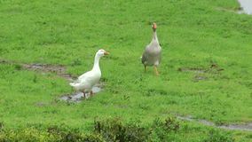 Running geese. Group of geese running loud chattering over a meadow. Its raining stock video
