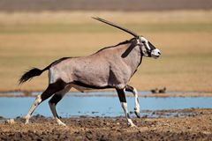 Running gemsbok antelope Royalty Free Stock Photo