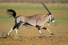 Running gemsbok antelope Royalty Free Stock Photography