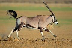 Running gemsbok antelope Royalty Free Stock Photography