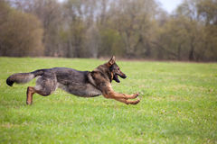 Running German sheepdog Royalty Free Stock Photos