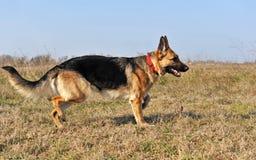 Running german shepherd Stock Image