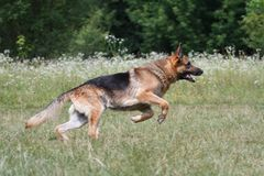 Running German Shepherd Stock Photography