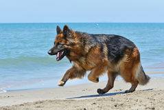Running german shepherd Royalty Free Stock Photos