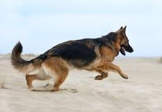 Running german shepherd Stock Photo