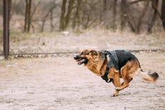 Running German Shepherd Dog at training. Alsatian Wolf Dog. Royalty Free Stock Image