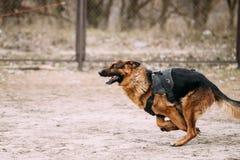Running German Shepherd Dog at training. Alsatian Wolf Dog. Stock Photography