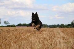 Running german shepherd on a field. German shepherd is running on a stubble field Royalty Free Stock Photos