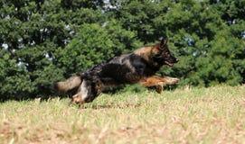 Running german shepherd on a field. German shepherd is running on a stubble field Stock Image