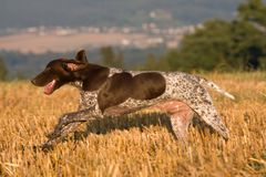 Running German shorthaired pointer Royalty Free Stock Photo