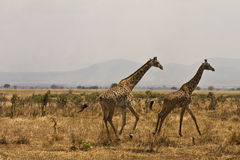 Running giraffas. Two giraffas running in the savannah (Mikumi National Park, Tanzania Royalty Free Stock Image
