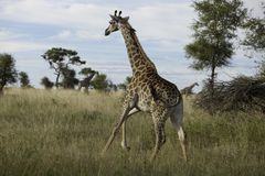 Running Giraffe Royalty Free Stock Photography
