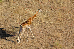 Running giraffe Royalty Free Stock Images