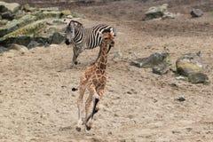 Running Giraffe And Zebra Stock Photography