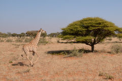 Running Giraffe Royalty Free Stock Photography