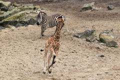 Running giraffe and zebra Stock Photography