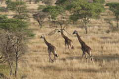 Running giraffes Stock Photos