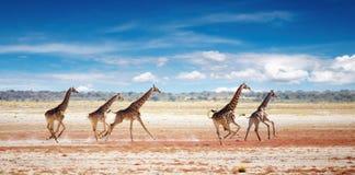 Running giraffes. Herd of giraffes in african savanna, Etosha National Park, Namibia