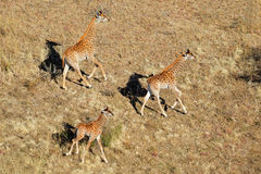 Running giraffes Stock Photo