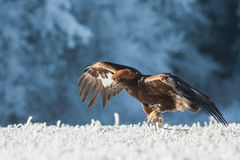 Running golden eagle Stock Image