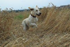 Running golden labrador Royalty Free Stock Image