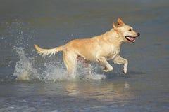 Running golden retriever Stock Photos