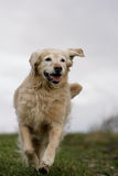 Running golden retriever dog Stock Photo